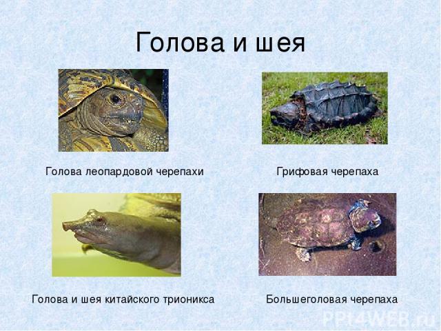 Голова и шея Голова леопардовой черепахи Голова и шея китайского трионикса Грифовая черепаха Большеголовая черепаха