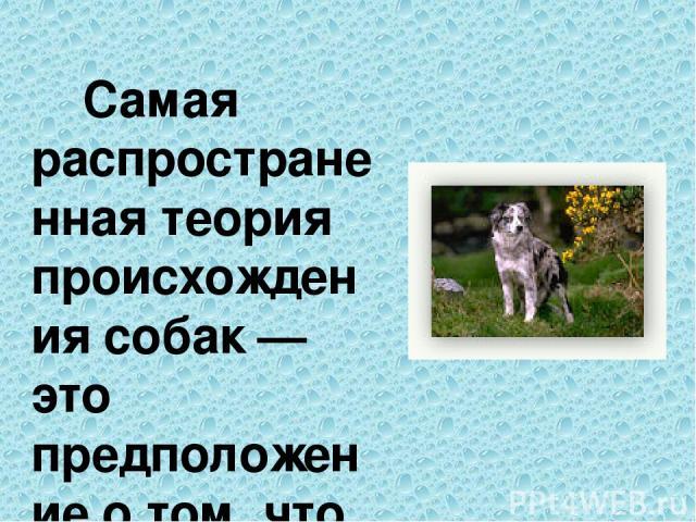 Самая распространенная теория происхождения собак — это предположение о том, что семейство псовых произошло от нескольких прародителей почти одновременно в разных частях света. Прародителями считают волка, шакала и абстрактную «первобытную» собаку, …