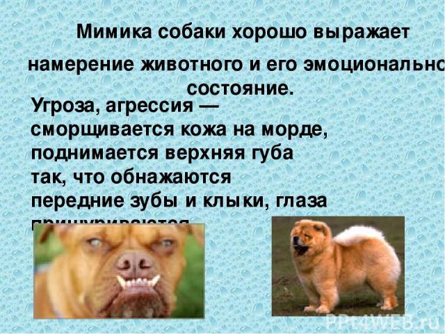 Мимика собаки хорошо выражает намерение животного и его эмоциональное состояние. Угроза, агрессия — сморщивается кожа на морде, поднимается верхняя губа так, что обнажаются передние зубы и клыки, глаза прищуриваются
