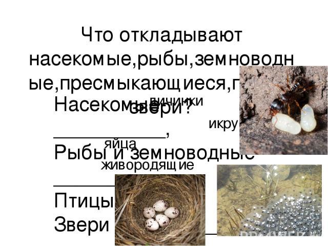 Что откладывают насекомые,рыбы,земноводные,пресмыкающиеся,птицы,звери? Насекомые-__________, Рыбы и земноводные-______, Птицы-_____, Звери _____________. личинки икру яйца живородящие