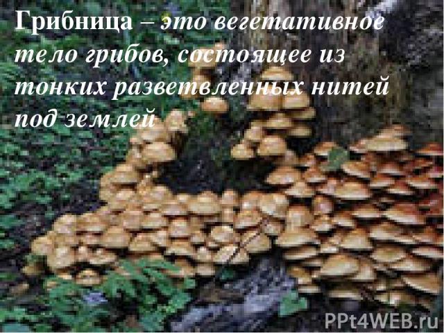 Грибница – это вегетативное тело грибов, состоящее из тонких разветвленных нитей под землей