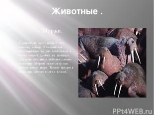Животные . Моржи. Крупнейшие ластоногие,У них мощные клыки. Клыками они выковыри