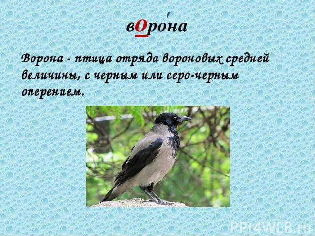 ворона Ворона - птица отряда вороновых средней величины, с черным или серо-черным оперением.