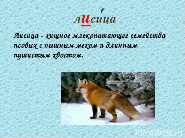 лисица Лисица - хищное млекопитающее семейства псовых с пышным мехом и длинным пушистым хвостом.
