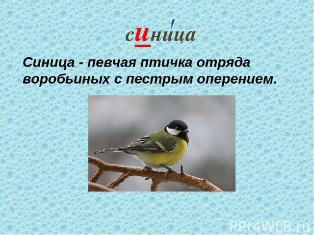 синица Синица - певчая птичка отряда воробьиных с пестрым оперением.