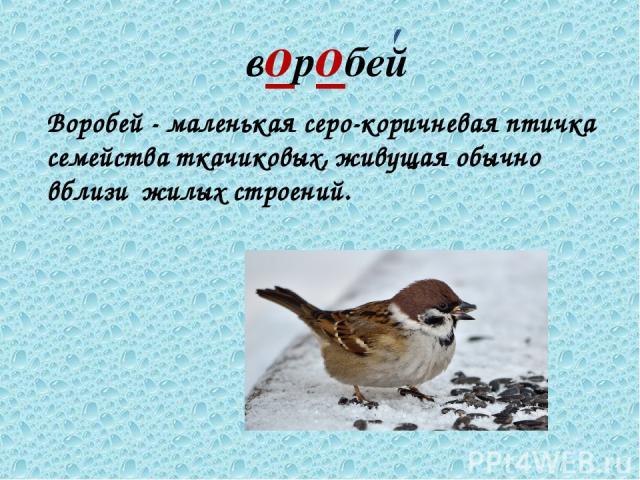 воробей Воробей - маленькая серо-коричневая птичка семейства ткачиковых, живущая обычно вблизи жилых строений.