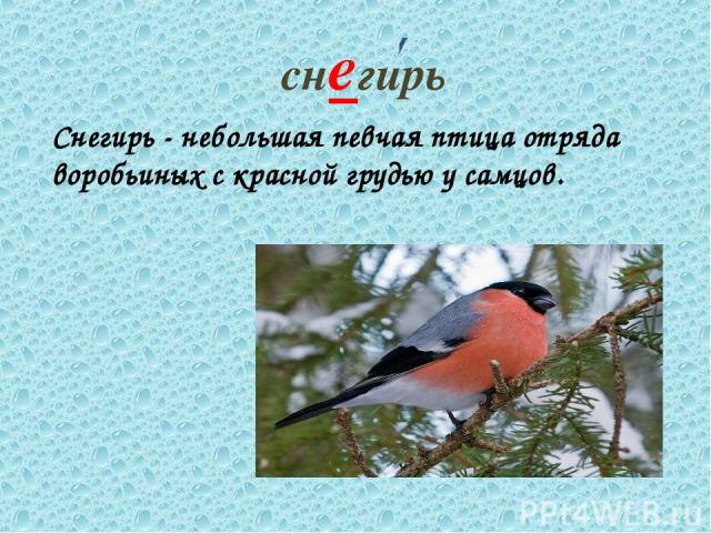 снегирь Снегирь - небольшая певчая птица отряда воробьиных с красной грудью у самцов.