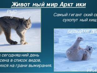 Животный мир Арктики На сегодняшний день внесена в список видов, находящихся на