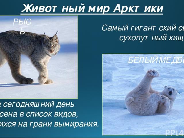 Животный мир Арктики На сегодняшний день внесена в список видов, находящихся на грани вымирания. РЫСЬ БЕЛЫЙ МЕДВЕДЬ Самый гигантский свирепый сухопутный хищник