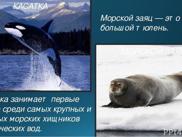 КАСАТКА Касатка занимает первые места среди самых крупных и сильных морских хищников арктических вод. Морской заяц — это самый большой тюлень. МОРСКОЙ ЗАЯЦ