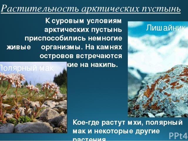 Растительность арктических пустынь К суровым условиям арктических пустынь приспособились немногие живые организмы. На камнях островов встречаются лишайники, похожие на накипь. Кое-где растут мхи, полярный мак и некоторые другие растения. Лишайник По…