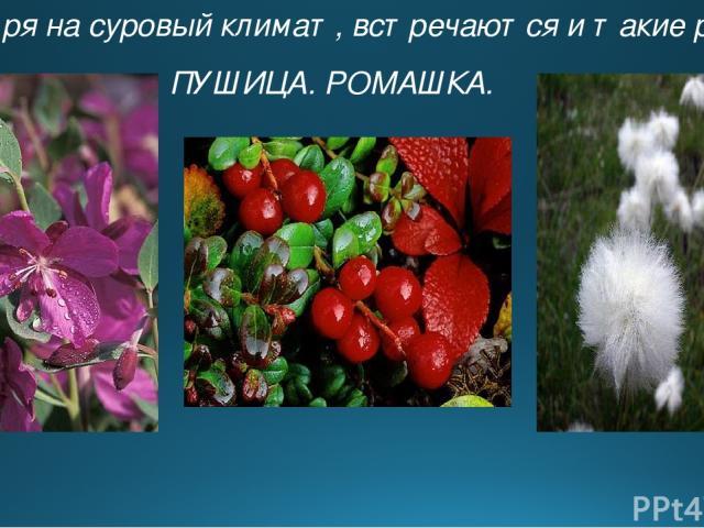 Несмотря на суровый климат, встречаются и такие растения ПУШИЦА. РОМАШКА.