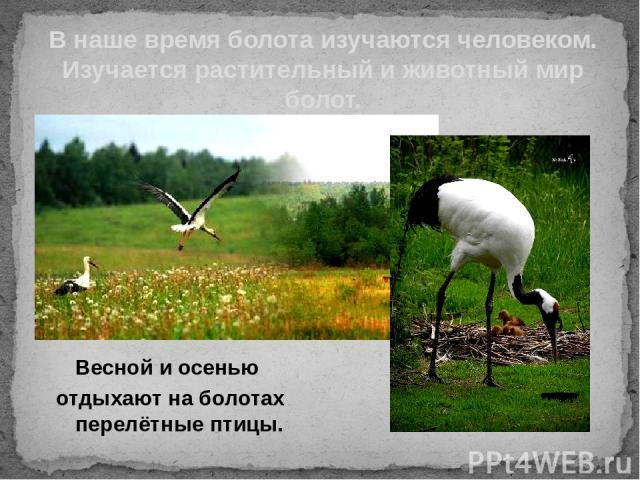 Весной и осенью отдыхают на болотах перелётные птицы. В наше время болота изучаются человеком. Изучается растительный и животный мир болот.