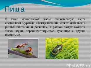 Пища В пище монгольской жабы, значительную часть составляют муравьи. Спектр пита