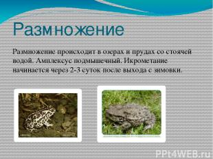 Размножение Размножение происходит в озерах и прудах со стоячей водой. Амплексус