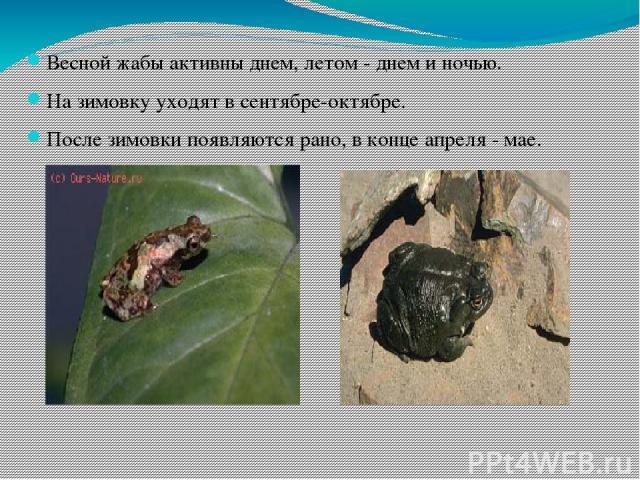Весной жабы активны днем, летом - днем и ночью. На зимовку уходят в сентябре-октябре. После зимовки появляются рано, в конце апреля - мае.