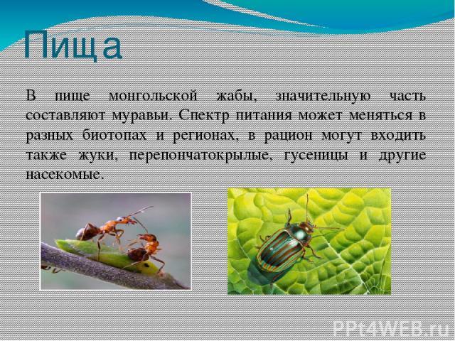 Пища В пище монгольской жабы, значительную часть составляют муравьи. Спектр питания может меняться в разных биотопах и регионах, в рацион могут входить также жуки, перепончатокрылые, гусеницы и другие насекомые.