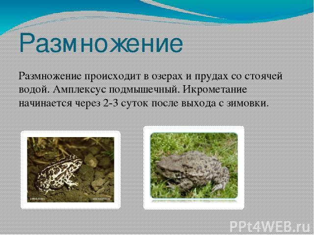 Размножение Размножение происходит в озерах и прудах со стоячей водой. Амплексус подмышечный. Икрометание начинается через 2-3 суток после выхода с зимовки.