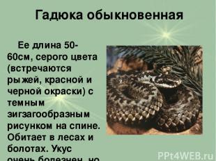 Гадюка обыкновенная Ее длина 50-60см, серого цвета (встречаются рыжей, красной и