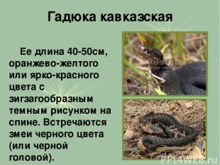 Гадюка кавказская Ее длина 40-50см, оранжево-желтого или ярко-красного цвета с з