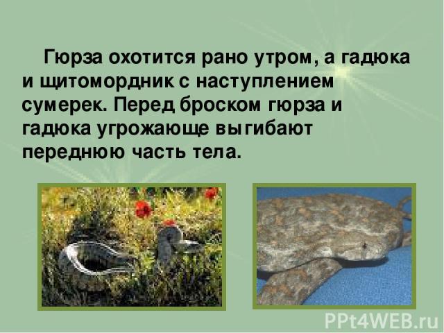 Гюрза охотится рано утром, а гадюка и щитомордник с наступлением сумерек. Перед броском гюрза и гадюка угрожающе выгибают переднюю часть тела.