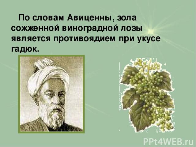 По словам Авиценны, зола сожженной виноградной лозы является противоядием при укусе гадюк.
