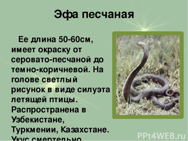 Эфа песчаная Ее длина 50-60см, имеет окраску от серовато-песчаной до темно-коричневой. На голове светлый рисунок в виде силуэта летящей птицы. Распространена в Узбекистане, Туркмении, Казахстане. Укус смертельно опасен.