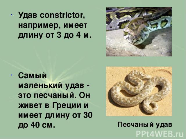 Удав constrictor, например, имеет длину от 3 до 4 м. Самый маленький удав - это песчаный. Он живет в Греции и имеет длину от 30 до 40 см. Песчаный удав