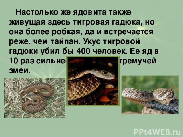 Настолько же ядовита также живущая здесь тигровая гадюка, но она более робкая, да и встречается реже, чем тайпан. Укус тигровой гадюки убил бы 400 человек. Еe яд в 10 раз сильнее яда другой гремучей змеи.