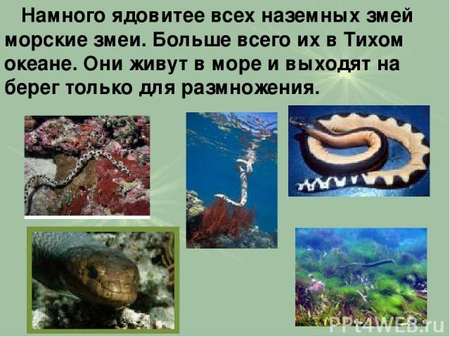 Намного ядовитее всех наземных змей морские змеи. Больше всего их в Тихом океане. Они живут в море и выходят на берег только для размножения.