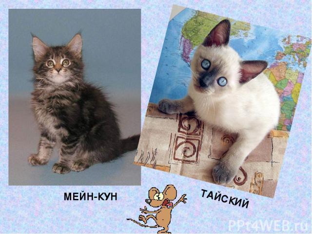 МЕЙН-КУН ТАЙСКИЙ