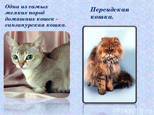 Одна из самых мелких пород домашних кошек - сингапурская кошка. Персидская кошка.