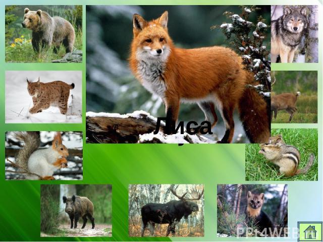 Кто живет в лесу? Волк