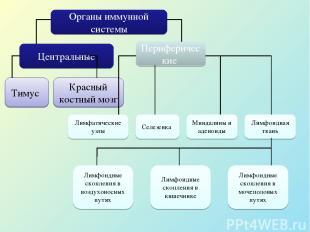 Органы иммунной системы Центральные Периферические Тимус Красный костный мозг Ли