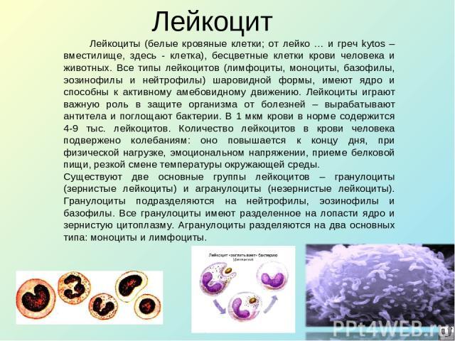 Лейкоцит Лейкоциты (белые кровяные клетки; от лейко … и греч kytos – вместилище, здесь - клетка), бесцветные клетки крови человека и животных. Все типы лейкоцитов (лимфоциты, моноциты, базофилы, эозинофилы и нейтрофилы) шаровидной формы, имеют ядро …