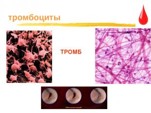 тромбоциты ТРОМБ