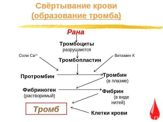 Свёртывание крови (образование тромба) Рана Тромбоциты разрушаются Тромбопластин Соли Са2+ Витамин К Протромбин Тромбин (в плазме) Фибриноген (растворимый) Фибрин (в виде нитей) Тромб Клетки крови