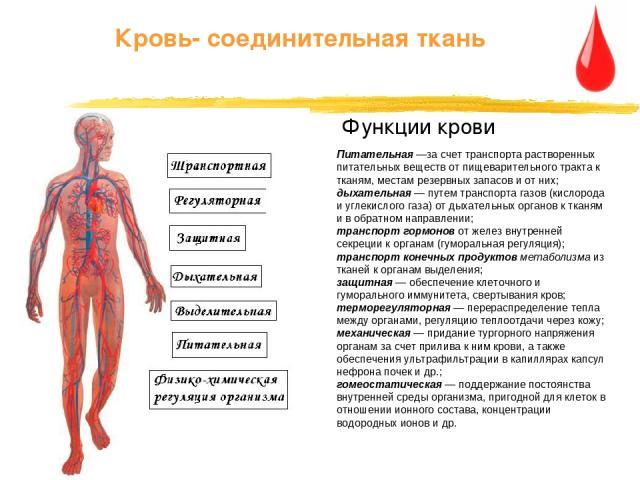 Питательная —за счет транспорта растворенных питательных веществ от пищеварительного тракта к тканям, местам резервных запасов и от них; дыхательная — путем транспорта газов (кислорода и углекислого газа) от дыхательных органов к тканям и в обратном…