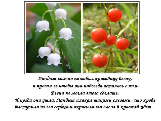 Ландыш сильно полюбил красавицу весну, и просил ее чтобы она навсегда осталась с ним. Весна не могла этого сделать. И когда она ушла, Ландыш плакал такими слезами, что кровь выступила из его сердца и окрасила его слезы в красный цвет.