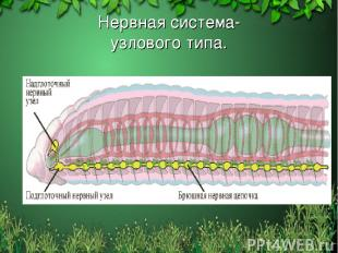Нервная система- узлового типа. Free template from www.brainybetty.com