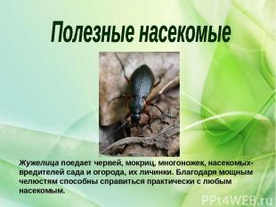 Жужелицапоедает червей, мокриц, многоножек, насекомых-вредителей сада и огорода