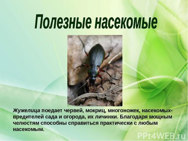 Жужелицапоедает червей, мокриц, многоножек, насекомых-вредителей сада и огорода, их личинки. Благодаря мощным челюстям способны справиться практически с любым насекомым.
