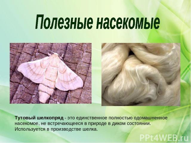 Тутовыйшелкопряд- это единственное полностью одомашненное насекомое, не встречающееся в природе в диком состоянии. Используется в производстве шелка.