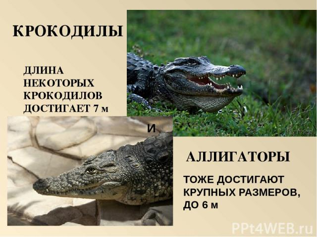Самая крупная ящерица Очковая змея Большая ядовитая змея Удав Морская черепаха Головоломка
