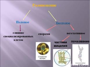 Размножение Половое Бесполое слияние специализированных клеток спорами вегетатив