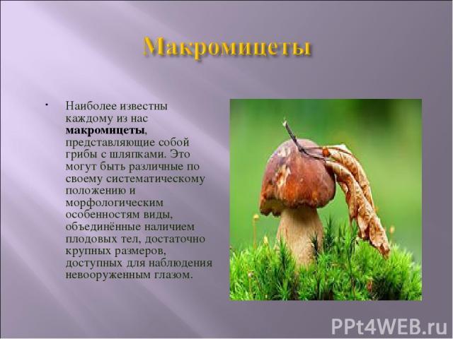 Наиболее известны каждому из нас макромицеты, представляющие собой грибы с шляпками. Это могут быть различные по своему систематическому положению и морфологическим особенностям виды, объединённые наличием плодовых тел, достаточно крупных размеров, …