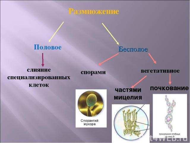 Размножение Половое Бесполое слияние специализированных клеток спорами вегетативное частями мицелия почкование