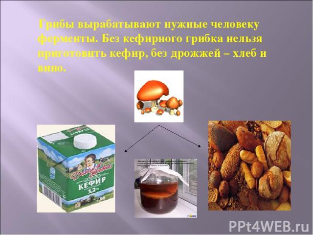 Грибы вырабатывают нужные человеку ферменты. Без кефирного грибка нельзя приготовить кефир, без дрожжей – хлеб и вино.