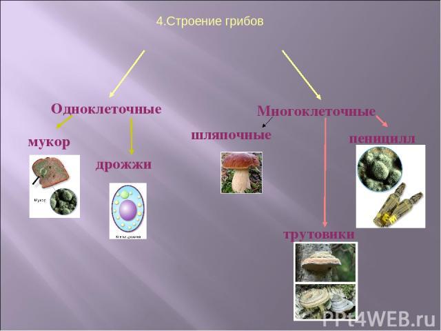 4.Строение грибов Одноклеточные Многоклеточные мукор дрожжи шляпочные пеницилл трутовики