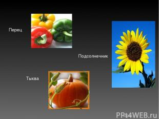 Перец * Подсолнечник Тыква Костюк Алёна 11-Б класс